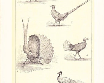 1903 Bird Print - Pheasants - Vintage Antique Home Decor Book Plate Art Illustration for Framing 100 Years Old