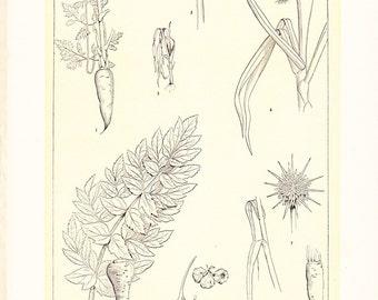 1903 Botany Print - Garden Root Vegetables - Vintage Antique Art Illustration Book Plate Natural Science Great for Framing 100 Years Old