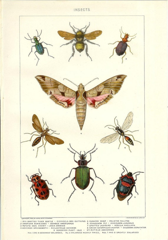1903 Insect Print - Vintage Antique Home Decor Book Plate Art Illustration for Framing 100 Years Old