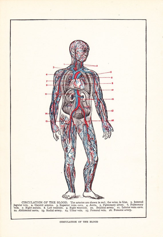 1909 Human Anatomy Print - Blood Vessels - Vintage Antique Art Illustration Book Plate Natural Science Great for Framing 100 Years Old