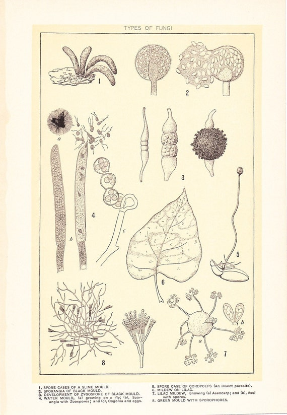 1903 Botany Print - Mildew Fungi - Vintage Antique Art Illustration Book Plate Natural Science Great for Framing 100 Years Old
