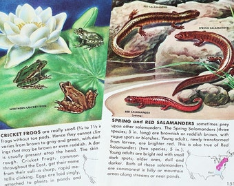 Vintage Reptile Illustrations- 1950s amphibian illustrations, lizards, snakes, turtles, toads, newts, and frogs, book pages, color plates