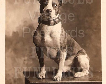 Murphy - Handsome Pit Bull with Studded Collar - Vintage Photo Digital Download
