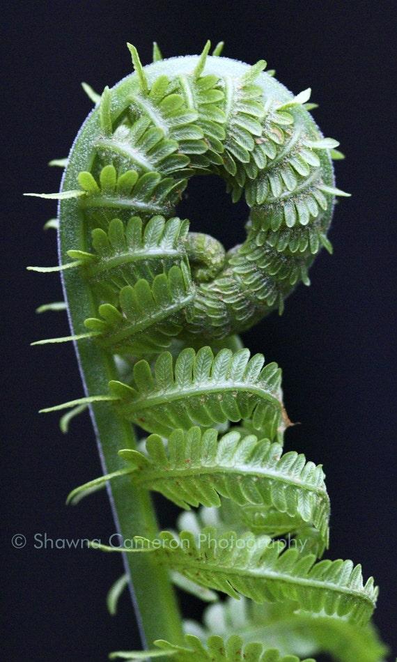 Green fern art - Fiddle-dee-dee - 8x12 fine art print - a springtime gift for the photography or fine art lover
