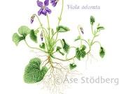 Viola-Art Print - AasesArt