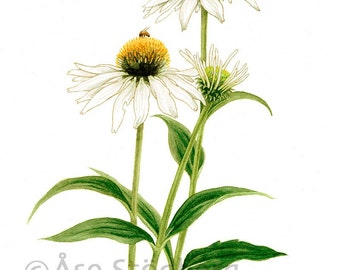 Coneflower - Art Print