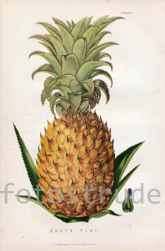 "Giclee Poster Size Reproduction of a Pineapple. English Botanical Print by James Anderson, 1875. 16"" x 24"""