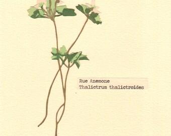 Rue Anemone, Pressed Flower, Linoleum Reduction Print