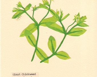 Giant Chickweed, Pressed Flower, Hand Pulled, Linoleum Reduction Print