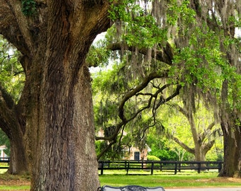 Charleston Garden Bench under Oak Trees - 8x10 Color or Black and White Photo Print - South Carolina - Southern Charm
