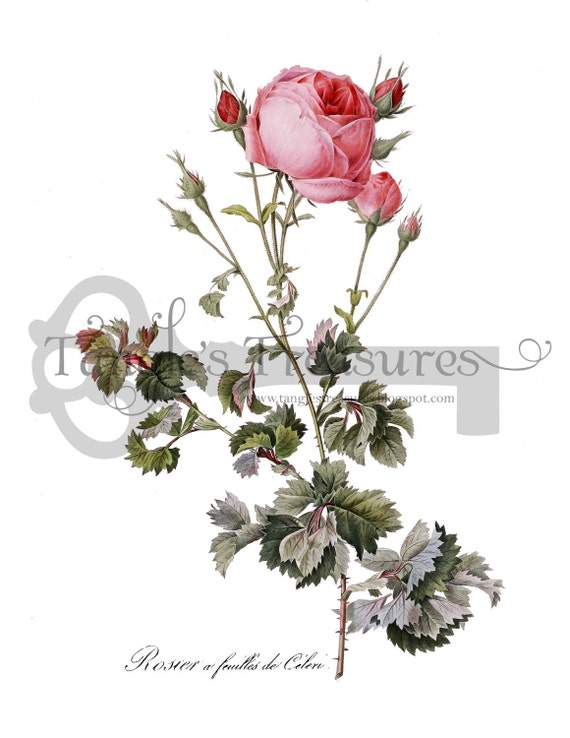 Vintage French Pink Redoute Rose Digital Image: Commercial Use - Image No. R8 Instant Download