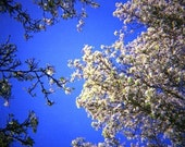 Tree Blossom - Azure Blue Sky - Genuine Lomography Film Photo - 8x8 - spring, flowers, floral, landscape, wall art, analogue