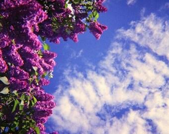 Lilac Tree Genuine Lomography Film Photo - 8x8 - flower, floral, purple, blue sky, clouds, wall art, decor, analogue