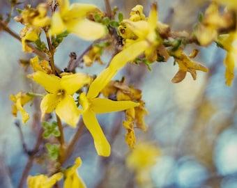 Lemonade - Square Fine Art Photograph - yellow blue spring floral forsythia home decor print