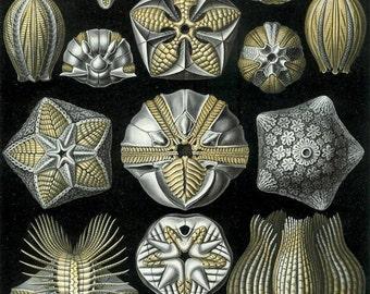 Haeckel Blastoidea Sea Buds You Print Digital File