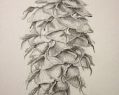Pine cone, Douglas Fir -- original pencil drawing