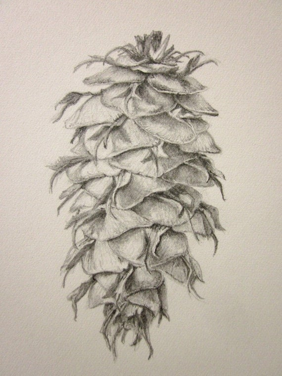 Pine Cone Douglas Fir Original Pencil Drawing