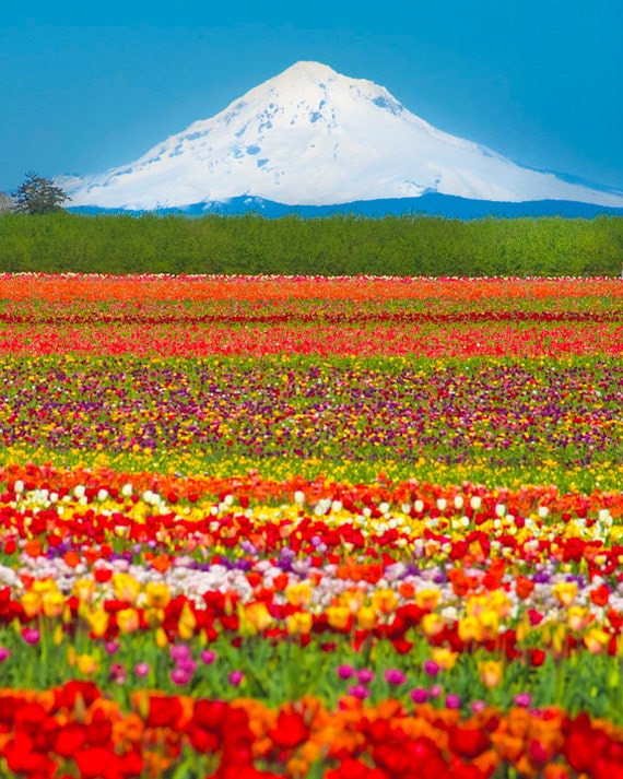 Flower Photography Mountain Photo Tulip Farm Photograph Spring Print Red Yellow Oregon nat1
