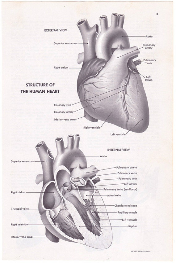Human Heart Structure Vintage Encyclopedia Illustration Page