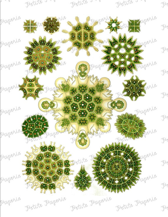 Haeckel Green Sea Life Digital Download Collage Sheet T