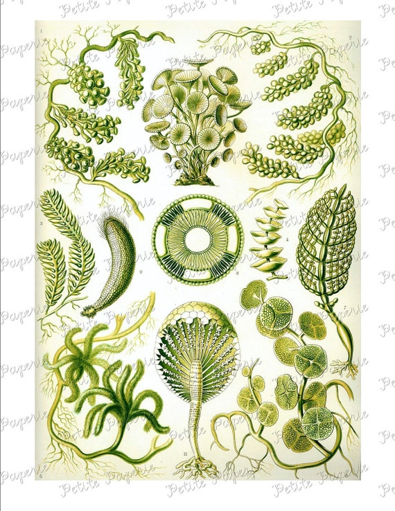 Haeckel Green Plant Sea Life Digital Download Collage Sheet U