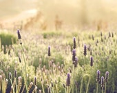 Morning Lavender-California Lavender Field, Travel Photography, Sustainable Farm, Nursery, Home/Office Art
