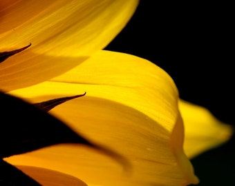 Sunflower Petals Sunny Delicate Curved Golden Colorful Yellow Glow Harvest Flower Rustic Cabin Lodge Photograph