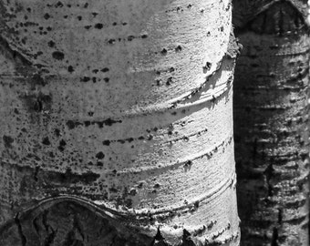 Aspen Trees Forest Aspens Woods Bark Rustic Cabin Lodge Nature Photography