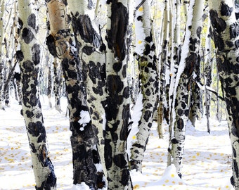 Aspen Trees Snow Aspens Fall Forest Trees Wall Art Colorado Mountains Woods Yellow Leaves Rustic Cabin Lodge Photograph