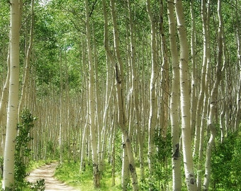 Summer Path Aspens Forest Trees Woods Colorado Cabin Rustic Lodge Photograph
