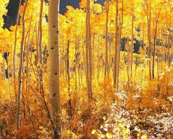 Colorado Aspen Forest Aspen Trees Golden Leaves of Fall Autumn Aspen Cabin Lodge Rustic Photography