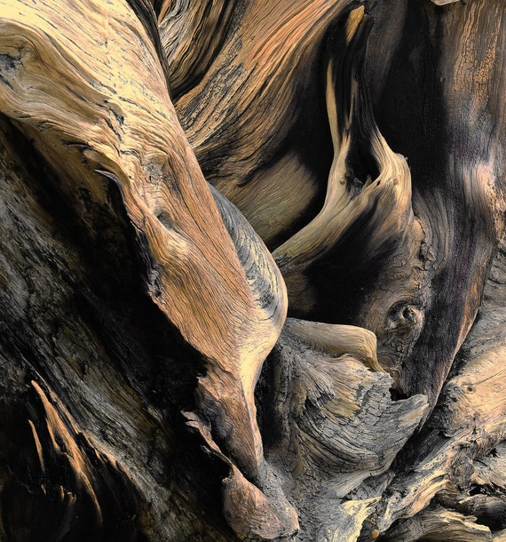 Windswept Roots Colorado Ancient Bristlecone Pine Root Rich Wood Tones Cabin Rustic Nature Photograph