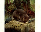 Beaver, Vintage Animal Print, Lydekker, 1916, Natural History, Home Decor Frameable Art, Library Decor, Wild Animal Art