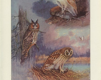 Long-Eared, Short-Eared Owl, Vintage Bird Print, Barn, Woodland, Brooks Ornithology 11, 1939, Forest Cabin Decor, Country Cottage Decor