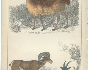 Vienga LLama and Dall Sheep, 1868 Goldsmith Antique Print, Scarce (43) Hand Colored Coloured, Copper Engraving, Fullerton, Frameable Art