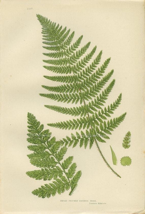 Botanical Illustration Fern