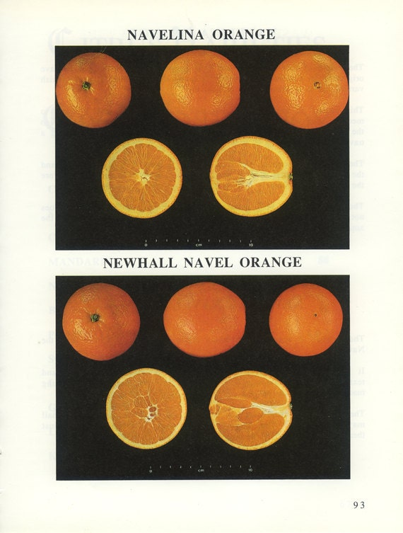 Spanish Oranges, Navelina, Newhall Navel, Vintage Fruit Picture 93, Citrus Fruit, Frameable Art, Country Kitchen Decor, Home Decor