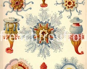 antique victorian jellyfishes illustration ernst haeckel siphonophorae DIGITAL DOWNLOAD