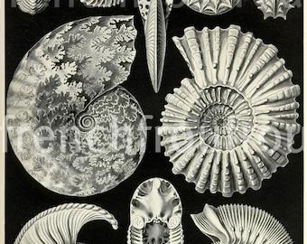 antique victorian seashells 1904 lithograph ammonitida Ernest Haeckel