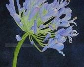 agapanthus  watercolor flower painting archival print of original watercolor painting