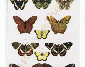 Albertus Seba BUTTERFLY Print, 'Tomus IV, Tabula 18-19', Papillons, Catepillar, Warm Colors, Naturalist, Monarch, X-LARGE, Botany, Zoology