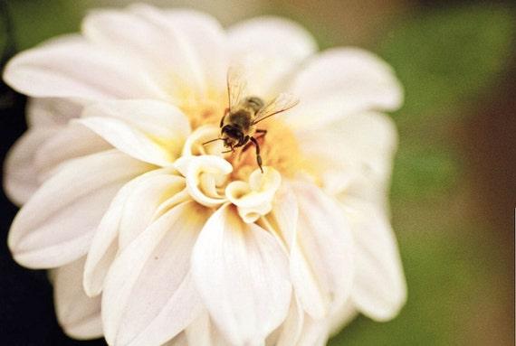 Dahlia pink Photography blossom bloom nectar sweet love - I hear a lotta buzzing, sound like my little honey bee - fine art photo