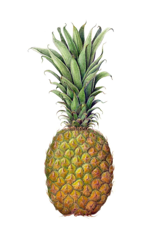 Pineapple Print Botanical Illustration on Fine Art Paper