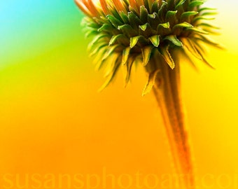 Ready to Bloom,Flower Photo, wall art, home decor, house warming, flowers for mom, small space art, colorful, minimalist, summer, coneflower