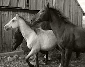 Horses Run Black and White Animal Photograph, Fine Art Photograph, Horse Nature Art