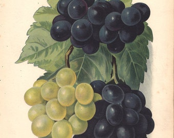 1890 Antique GRAPES Print, Black and green grapes, bunch of grapes, fruits print, Kitchen Decor