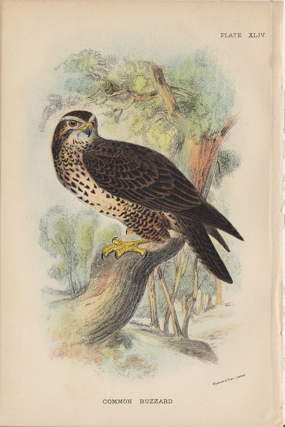 1896 Antique BIRD Lithograph Engraving of a Common Buzzard, Published by Wyman and Sons.