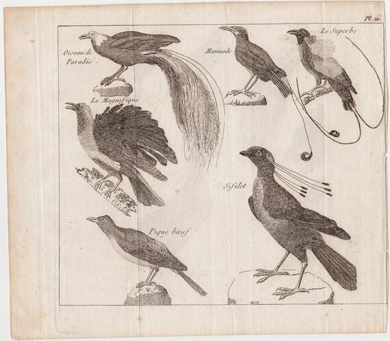 Rare 1800s Antique bird print, Exotic birds, Bird of Paradise, Superb Bird, the magnificent bird, French engraving