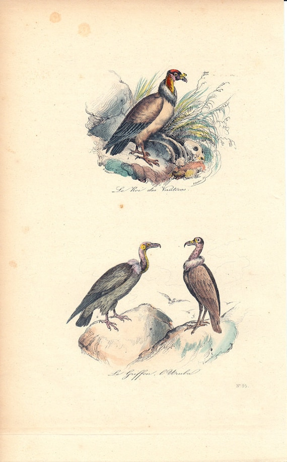 1870 rare Antique Victorian GRYPHON print By BUFFON, The King of the vultures, the griffin and the Urubu