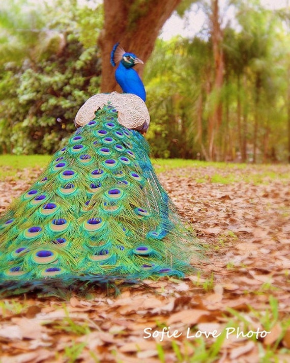 Peacock Flamingo Gardens, Davie, FL 8 x 10 Print
